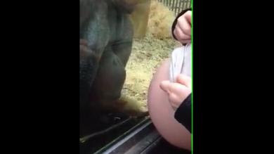 Videos virales Facebook: Orangután 'besa' a embarazada y muestra reacción paternal [VIDEO]